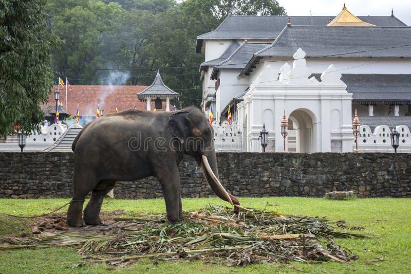 En ceremoniell elefant som matar i Kandy arkivfoto