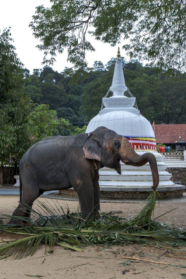 En ceremoniell elefant som matar i Kandy arkivfoton