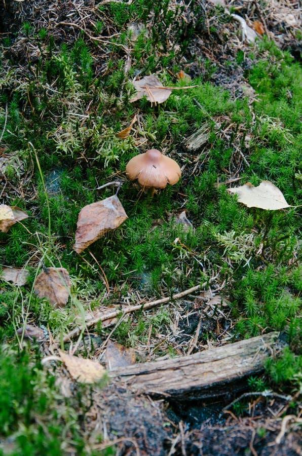 En champinjon, i att omge av mossa arkivfoton