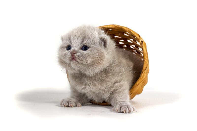 En charmig purpurfärgad kattunge avverkar ut ur en vide- korg på en vit bakgrund Ålder två veckor royaltyfria foton