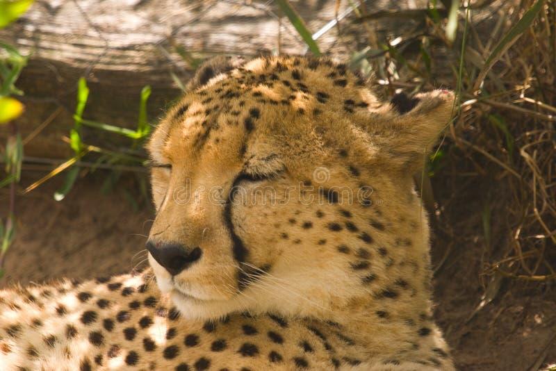 En cheetah som ligger i skugga