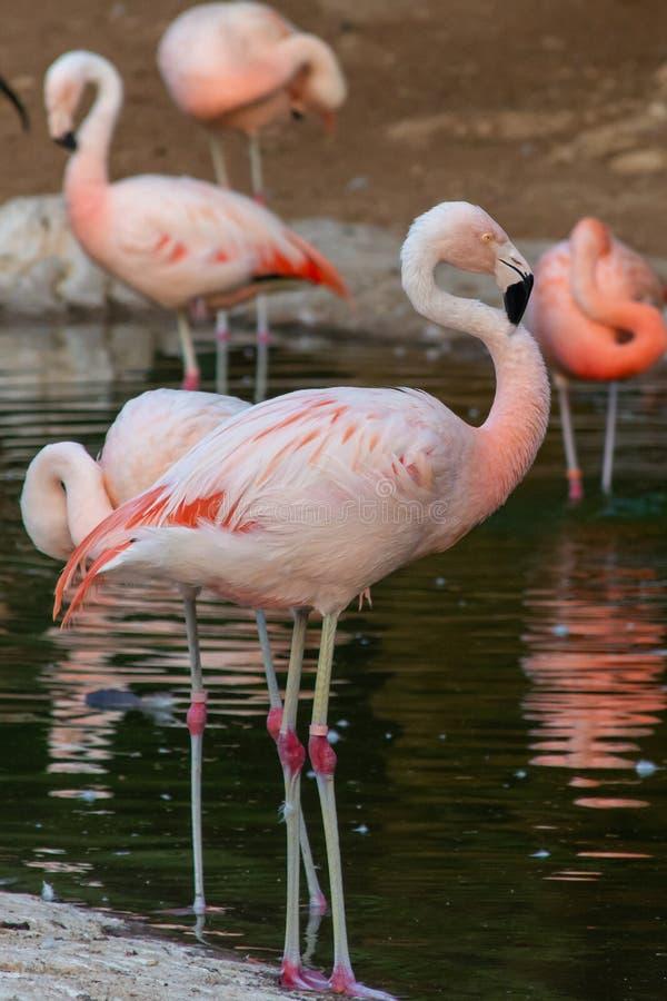 En chilensk flamingoPhoenicopterus chilensis g?r till och med ett damm av vatten Inföding till Sydamerika i chili, Brasilien, Arg arkivbild