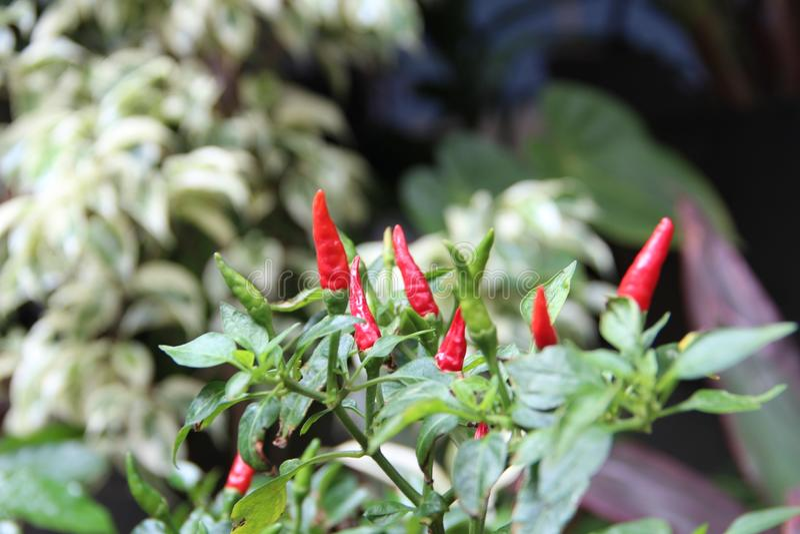 En chiliväxt som ser smaklig arkivfoton