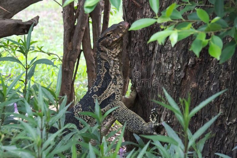 En chockerande och ovanlig sikt av en bildskärmödla som klättrar ett träd i en frodig thailändsk trädgård, parkerar royaltyfri fotografi