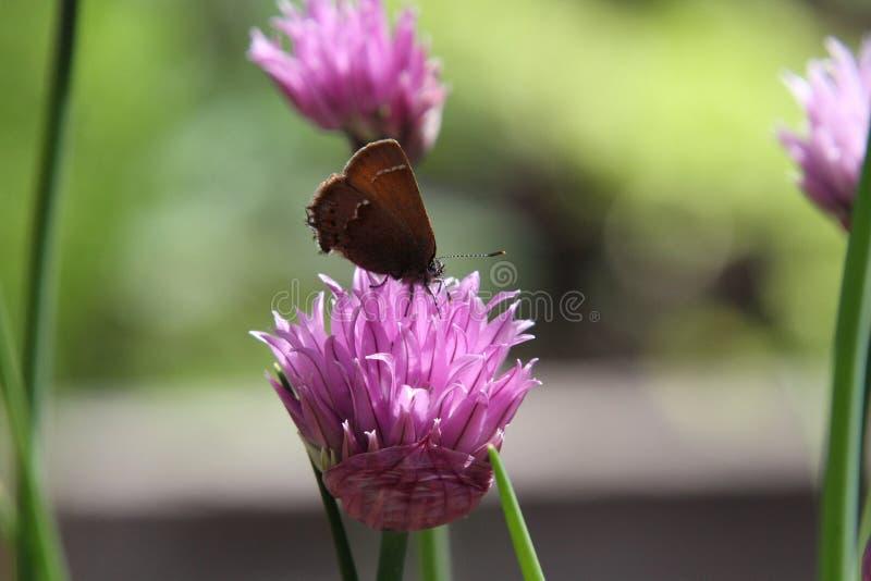 En closeup av en brun mal på en växt av släktet Trifoliumblomning arkivbilder