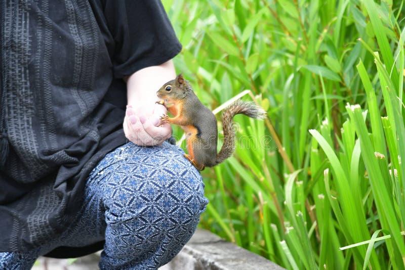 En closeup av den amerikanska röda ekorren som matar från en hand royaltyfri bild