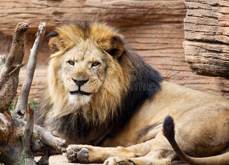 En closeup av ett manligt lejon som vilar i solen arkivfoto