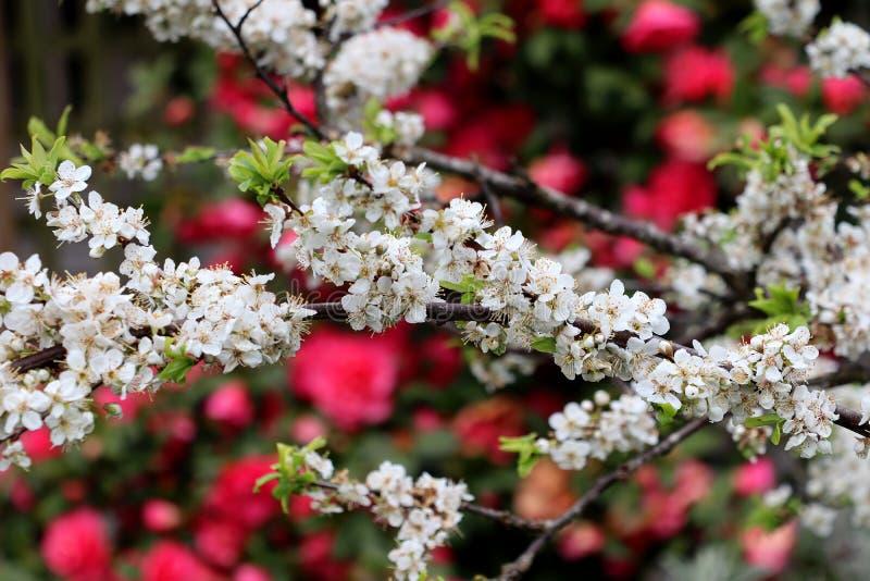En closeup av plommonblomningar på ett trädgårdträd royaltyfri bild