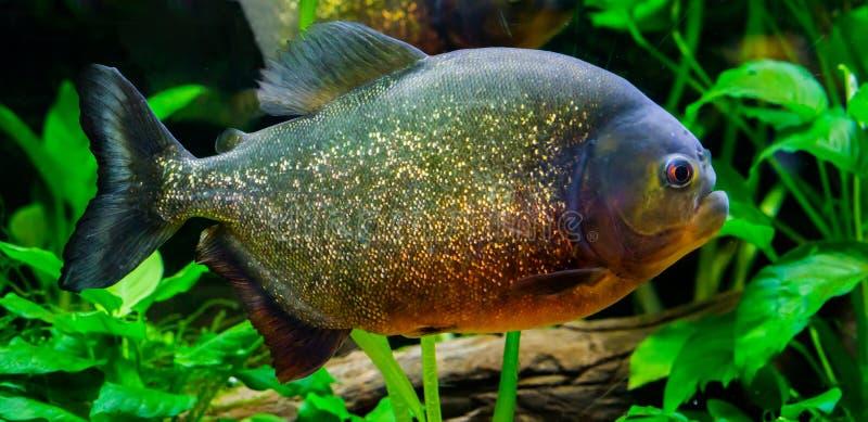 En closeup av en röd buktad piranha, en färgrik fisk med glittery våg i färgerna som är guld- som är orange och som är röda royaltyfri bild