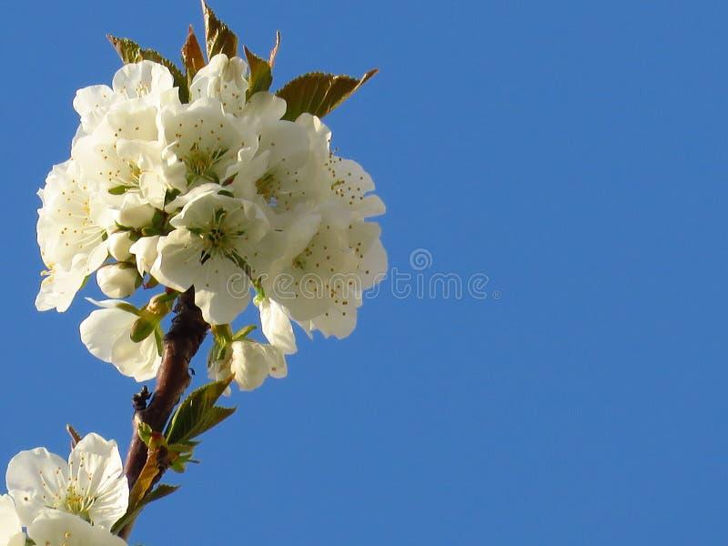 En closeup som blommar blomma päronträdfilialen på klar bakgrund för blå himmel Vit blomning för päronträd och gröna sidor fotografering för bildbyråer