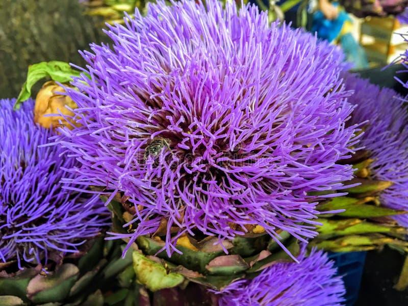 En closeupsikt av vibrerande fullständigt blomstrade purpurfärgade Romagna kronärtskockablommor royaltyfria bilder