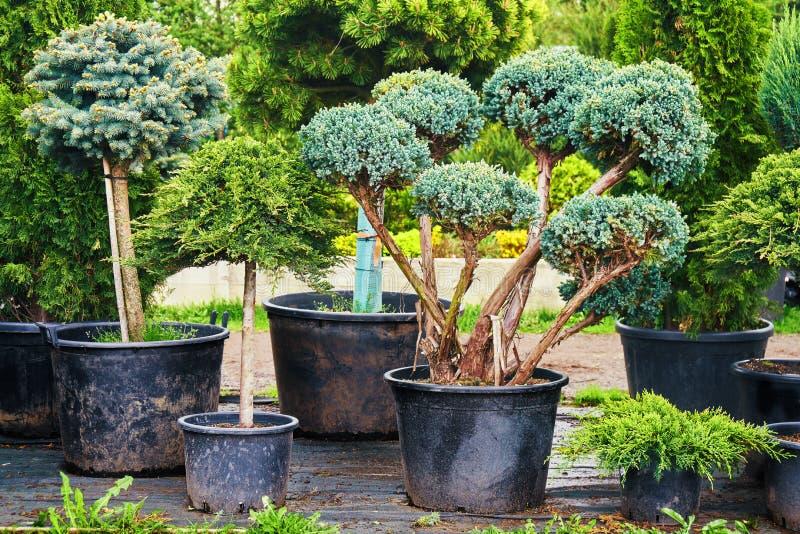 En couniferous träd i krukor i utomhus- trädgård shoppar royaltyfri bild