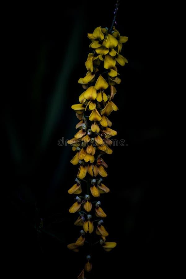 En Crotalariamucronata FRÅN AL arkivbilder
