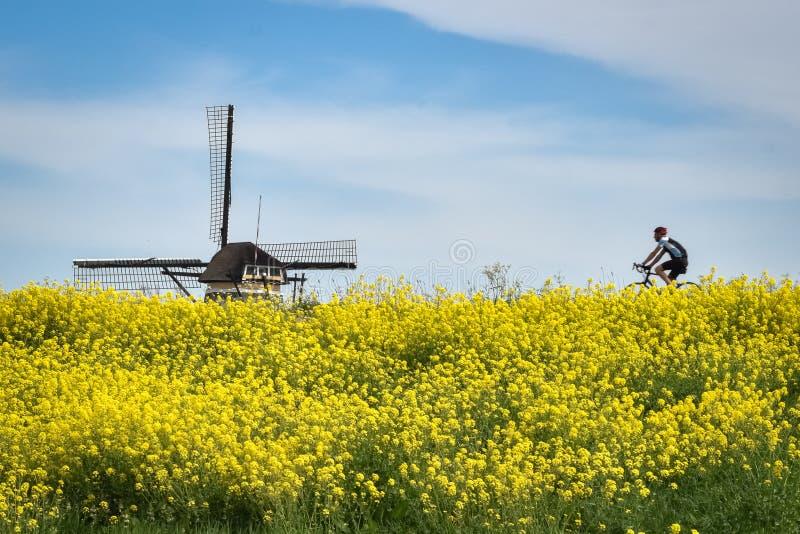 En cyklist tycker om det holländska landskapet med väderkvarnen och fält av rapsfröt royaltyfri fotografi