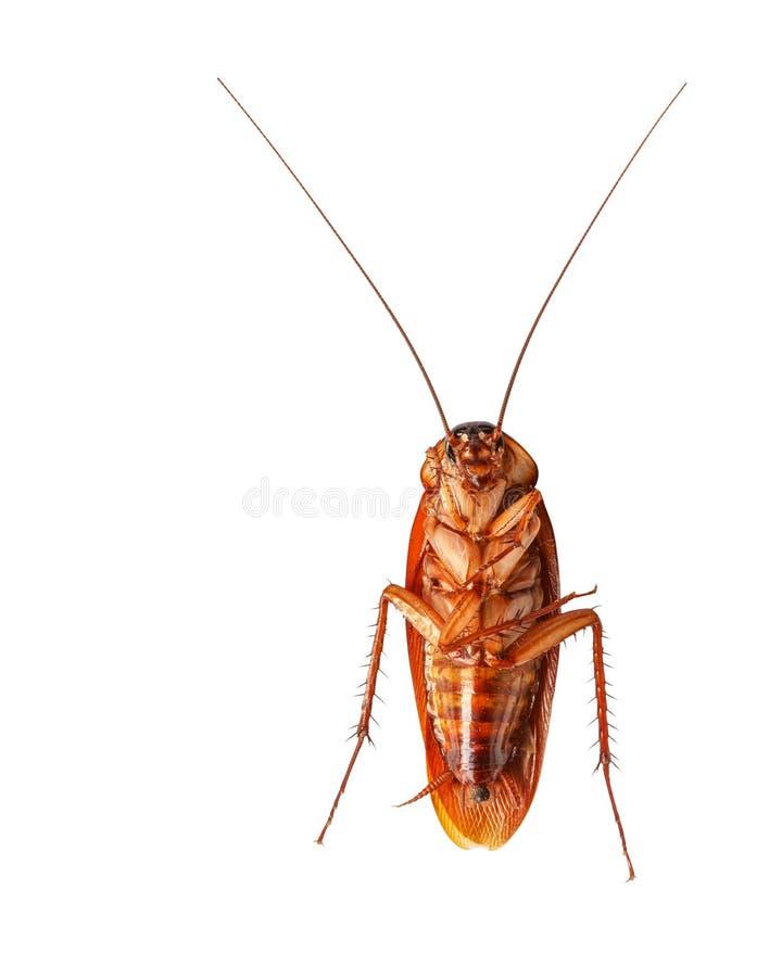 En Död Kackerlacka Som Isoleras På Vitbakgrund Arkivfoton