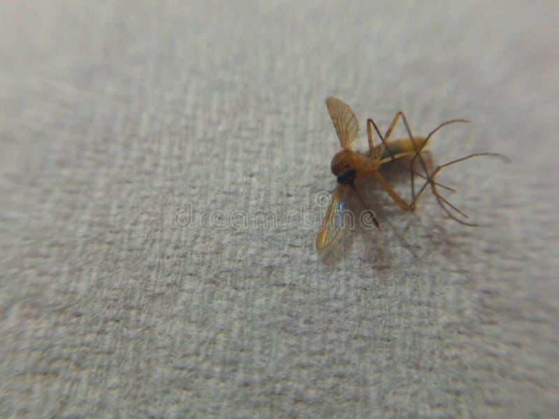 En dödad mygga arkivbild