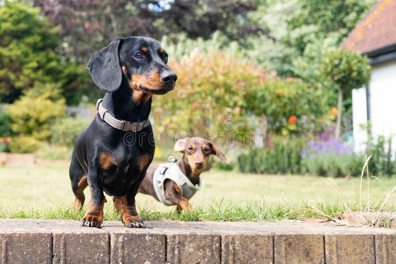 En dachshund och en miniatyrdykvalster med fyr i en trädgård som fångats på ögonnivå arkivbild