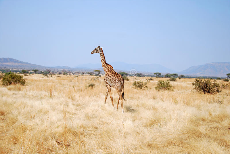 En dag av safari i Tanzania - Afrika - giraff royaltyfria foton