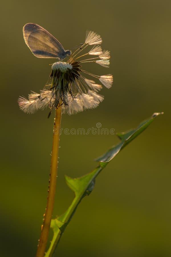 En dagfjäril i ottan i sommaren på en maskrosblomma i dagget väntar på da royaltyfri fotografi