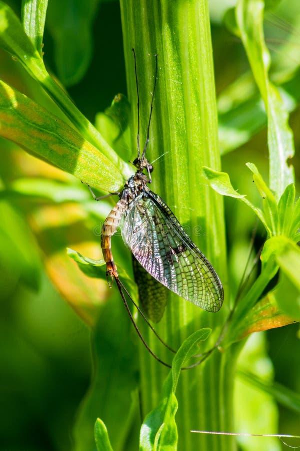 En dagsländaEphemeroptera som klamra sig fast intill flodstrandvegetation arkivfoton