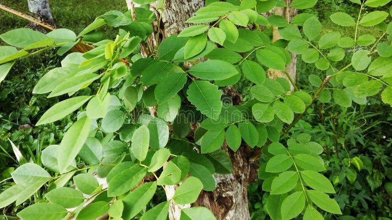 En del av ett akaciaträd arkivbild