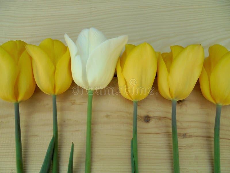 En delikat vit tulpan bland härlig guling royaltyfria foton