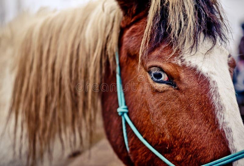 En detaljerad och härlig closeup av ett blått öga för häst arkivfoton