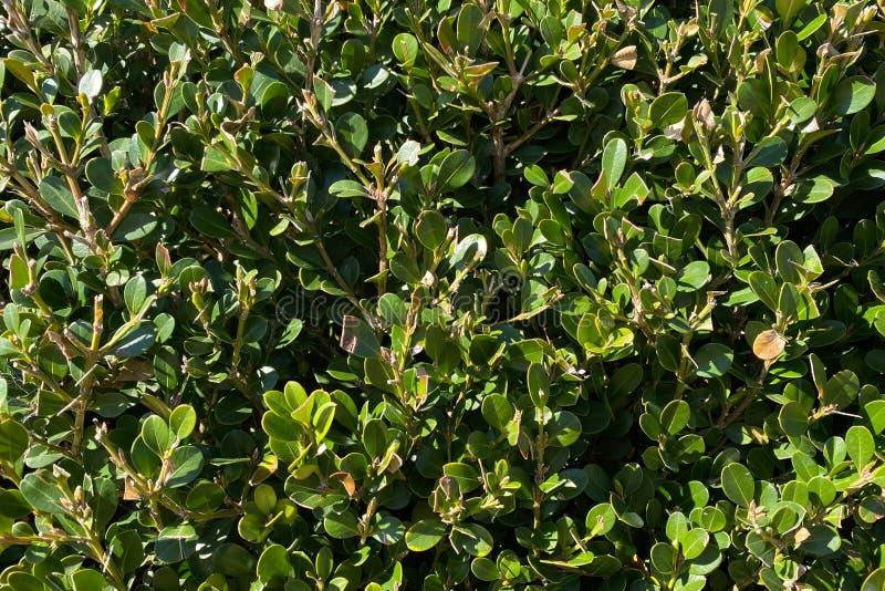 En detaljerad stängningsvinkel med ljus lush färska buskvegetationsökning med buskvegetation i trädgårdsbog som täcker ren lush-s fotografering för bildbyråer