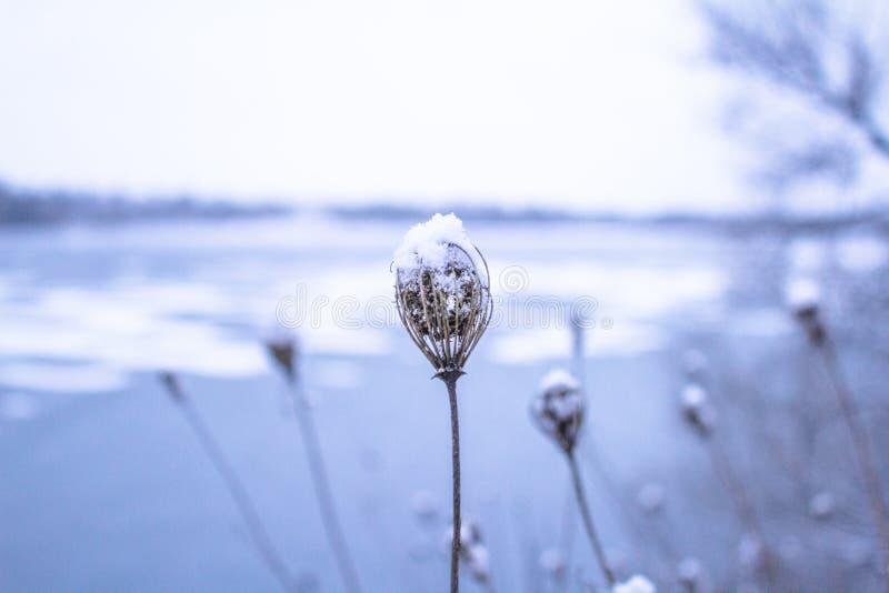 En djupfryst blomma framme av en unfocused djupfryst sjö royaltyfria foton