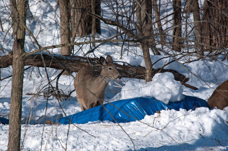 En Doe för vit svans i snö royaltyfri bild