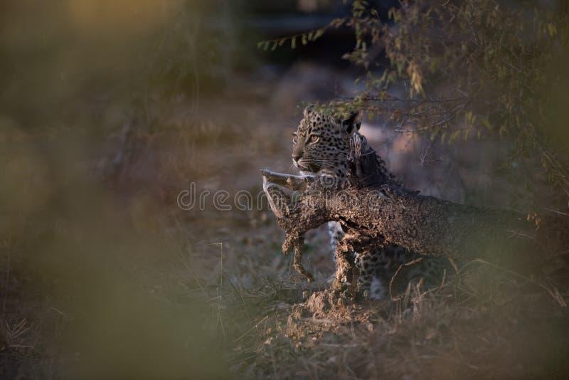 En dold leopardgröngöling royaltyfri fotografi