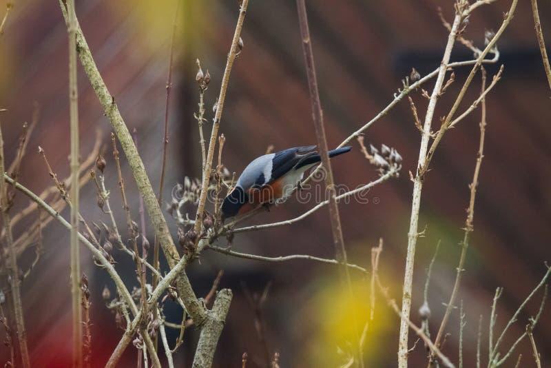 En domherre som matar på frö i busken på winter'sdag arkivbilder