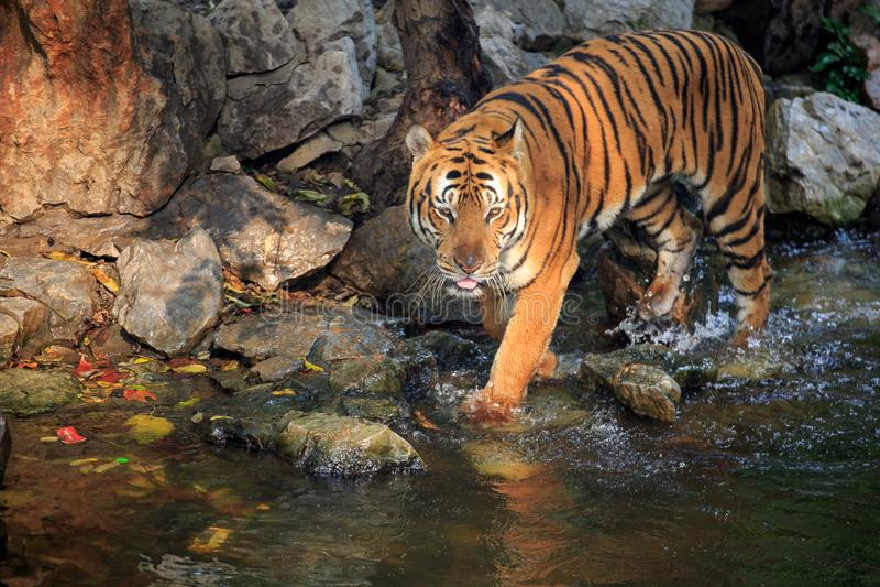En dricka tiger arkivbilder