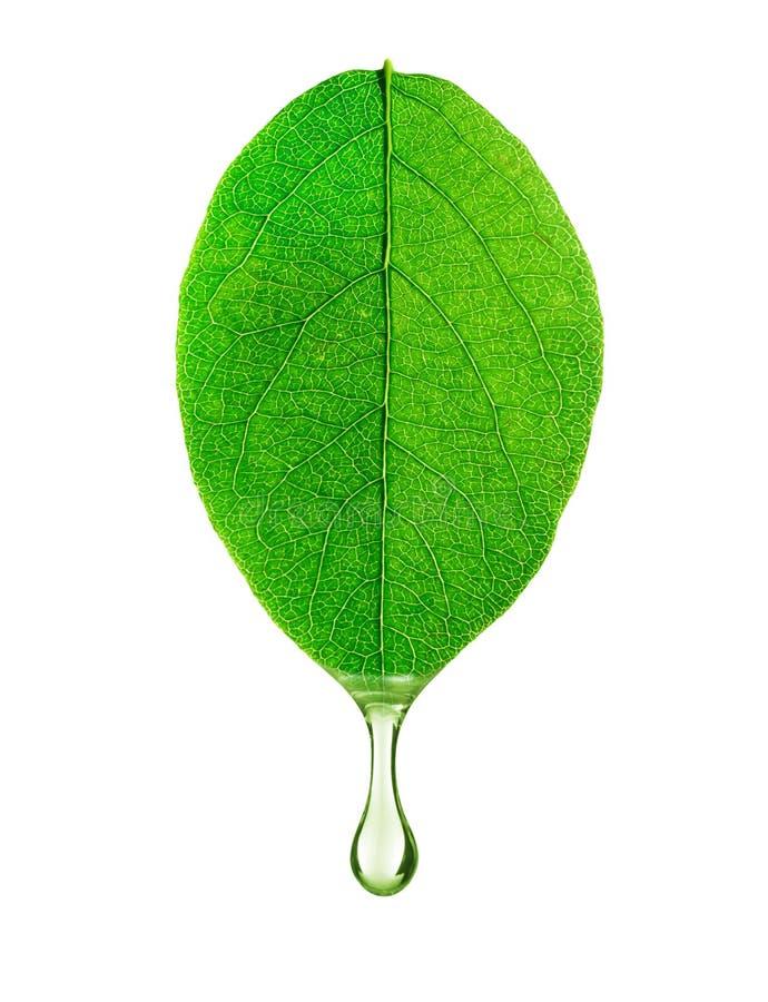 En droppe av vatten dryper från en bladnärbild som isoleras på vit arkivfoton