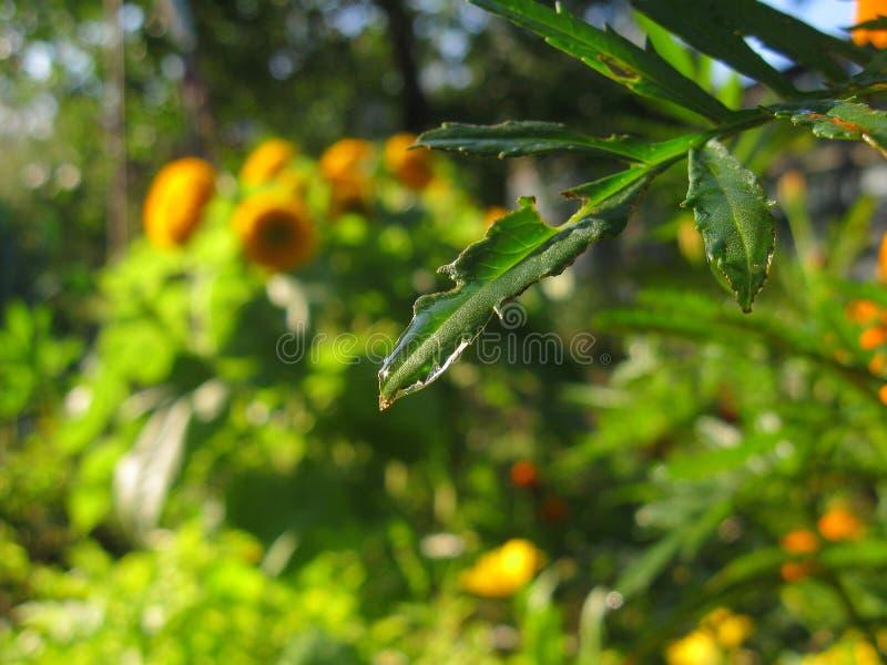 En droppe på ett blad av en växt Vatten på bakgrunden av den gröna naturen royaltyfria foton