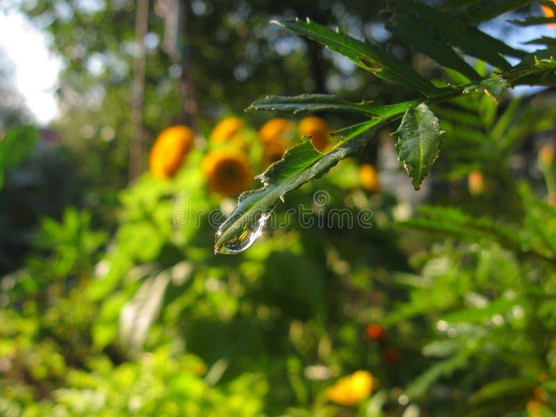 En droppe på ett blad av en växt Vatten på bakgrunden av den gröna naturen royaltyfri fotografi