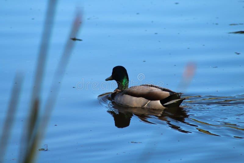 En Duck Swimming i sjön för solnedgången royaltyfria foton
