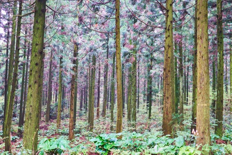 En dunge av träd för japanskt cederträ i den Saryeoni skogen av den Jeju ön, Sydkorea arkivfoton