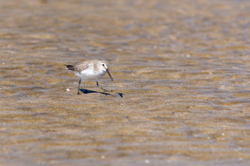 En Dunlin jagar för mat på stranden i den Muscat, Oman Calidrisalpinaen royaltyfri foto