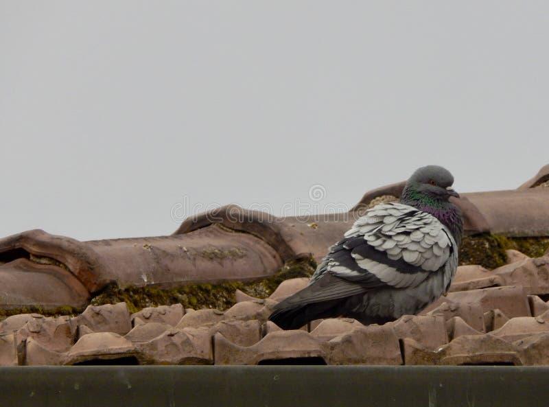 En duva på taket av ett hus arkivfoto