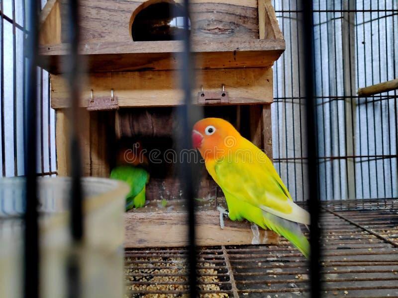 En dvärgpapegoja är det gemensamma namnet av agapornisen per litet släkte av papegojan arkivfoto