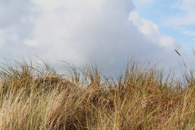 en dyn är en kulle av lös sand som byggs av eoliska processar och, kallas den Ammophila arenariaen, europeiska marramgras, europe arkivbilder