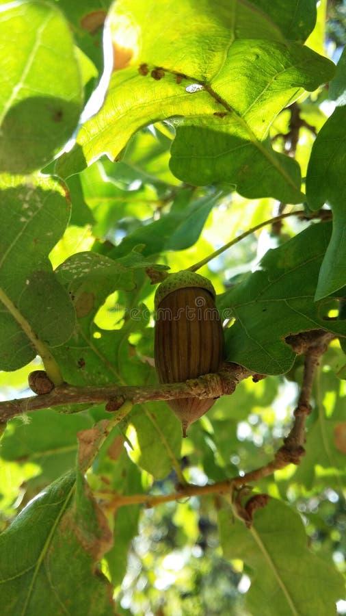 En ekollon på ett träd i gröna sidor royaltyfria foton