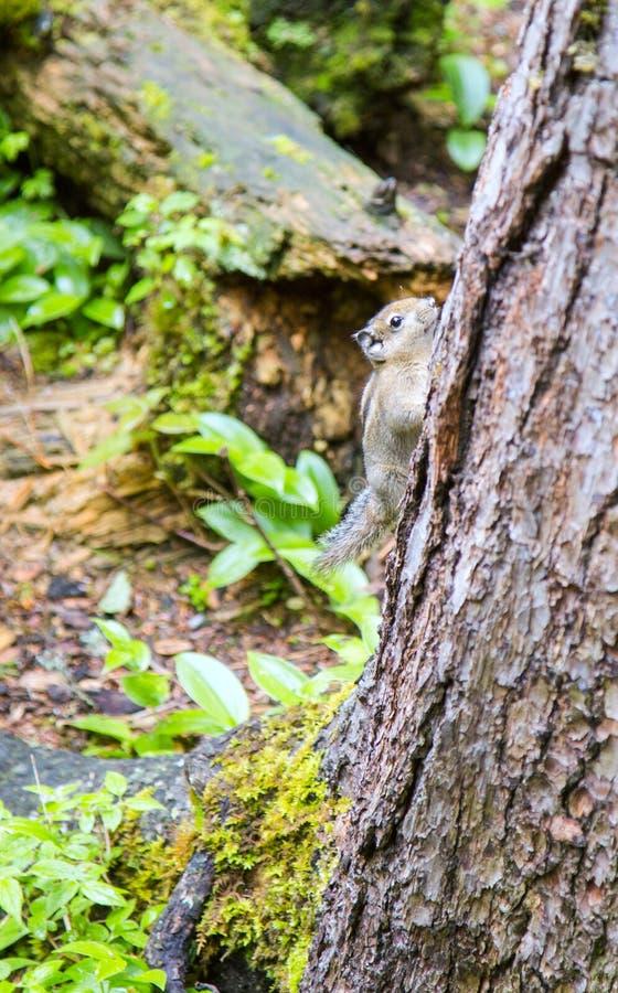 En ekorre klättrar ett träd, Kina - Juni 15, 2017: en lös ekorre flyr från jordningen i jiuzhaigouen, det sichuan landskapet, Kin royaltyfri illustrationer