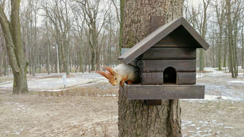 En ekorre på dess hus arkivbild