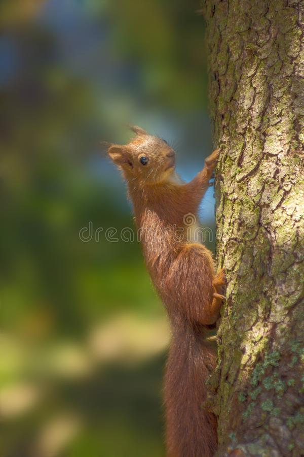 En ekorre på ett träd arkivbild