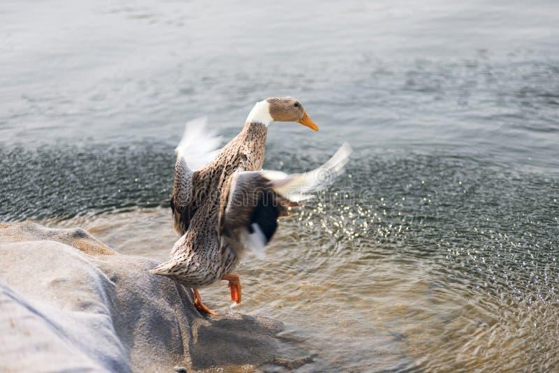 En el agua delante de un pato fotografía de archivo