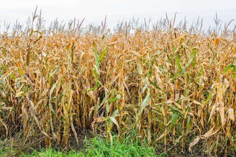 En el borde de un campo de maíz imagen de archivo libre de regalías