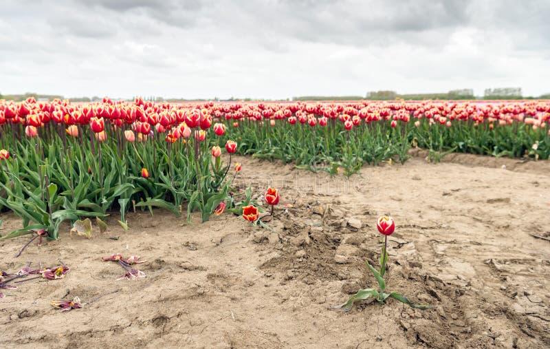 En el borde de un campo del bulbo del tulipán foto de archivo libre de regalías
