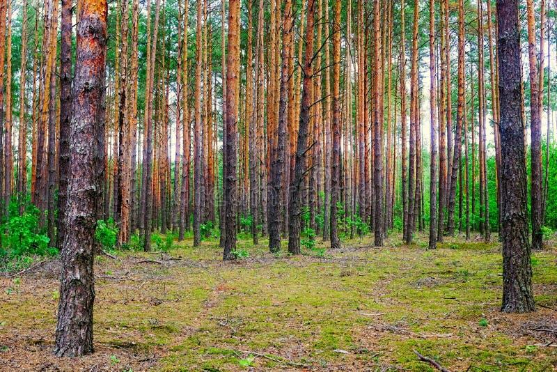 En el bosque bielorruso de los árboles de pino Paisaje del VERANO imagen de archivo